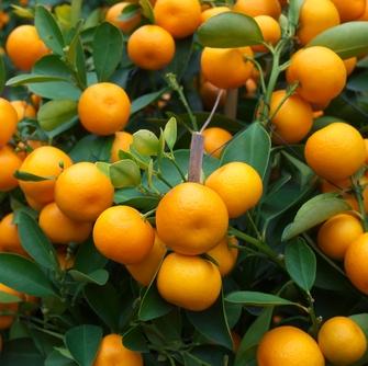 Bergaptene Free Calabrian Essential Oil - Bergamot 5
