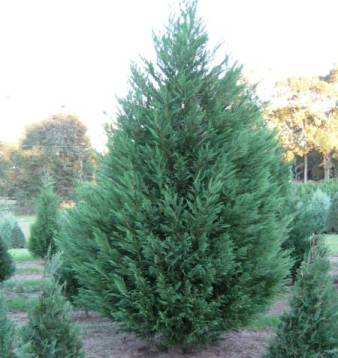 Cypress Essential Oil Australian Blue 2