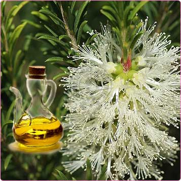 Cajeput Essential Oil 4