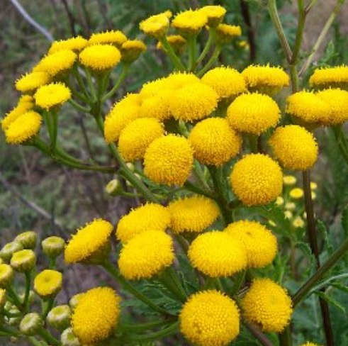 Tansy Blue Essential Oil 4