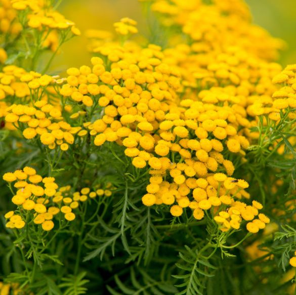 Tansy Blue Essential Oil 2
