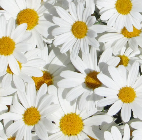 Chamomile German Hungary Essential Oil 5