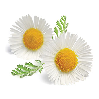 Chamomile Blue Pure Floral Absolutes 4
