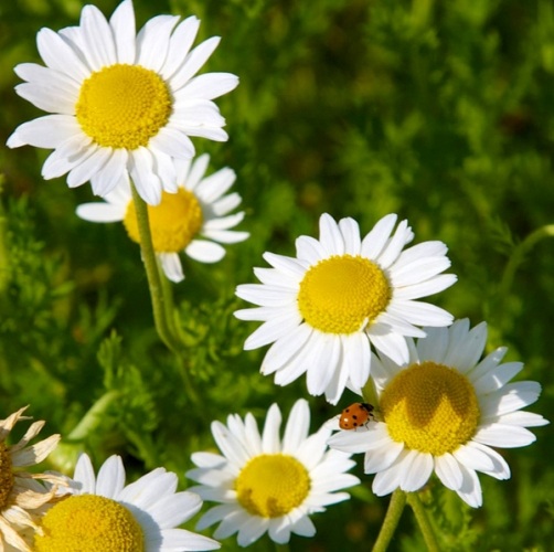 Chamomile German Nepal Essential Oil 4