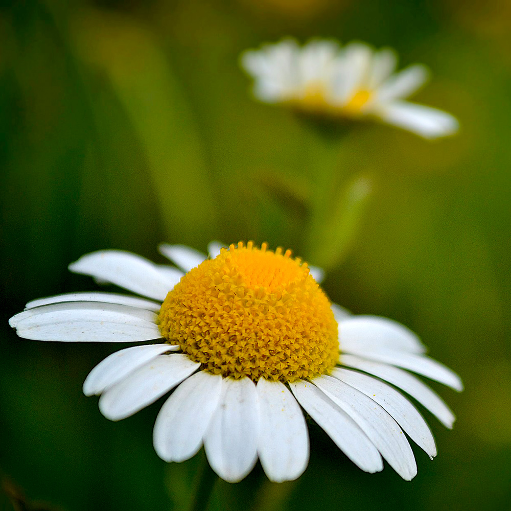 Chamomile German Hungary Essential Oil 3