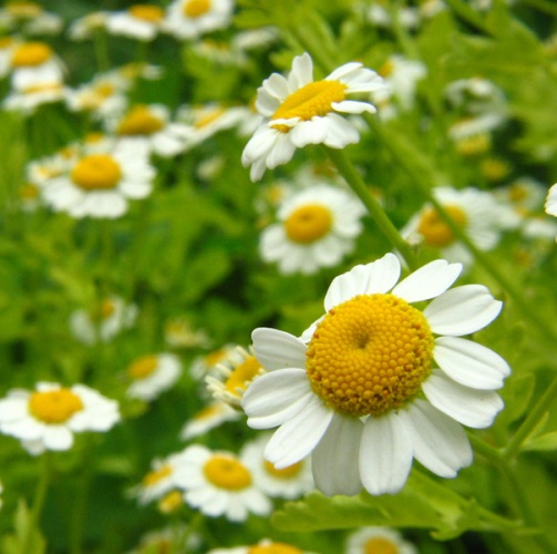 Chamomile German oil - Certified Organic  4