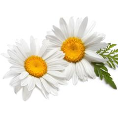Chamomile German oil - Certified Organic  2