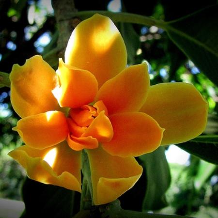 Champaca Orange Oil 2