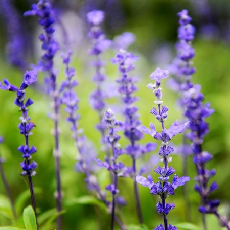 Clary Sage Essential Oil France 2