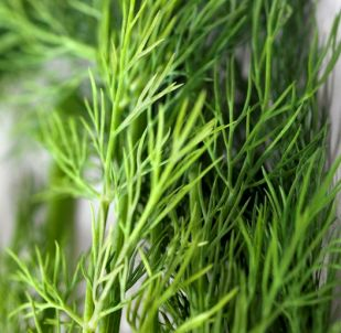 Dill Weed Organic Essential Oil 4