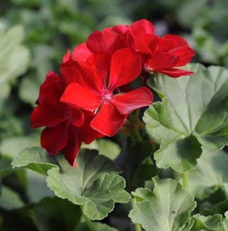 Rose Geranium South African Essential Oil 5