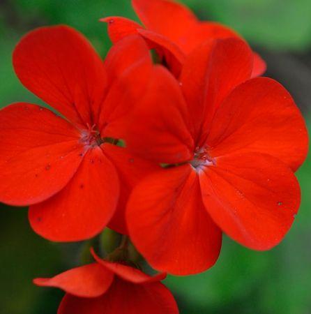 Rose Geranium South African Essential Oil 2