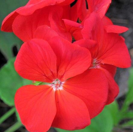 Rose Geranium South African Essential Oil 3