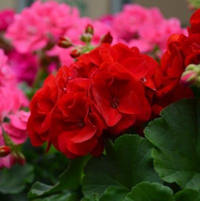 Rose Geranium South African Essential Oil 4