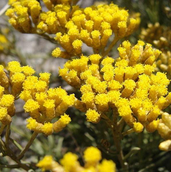 Helichrysum Floral Absolute Oil  3