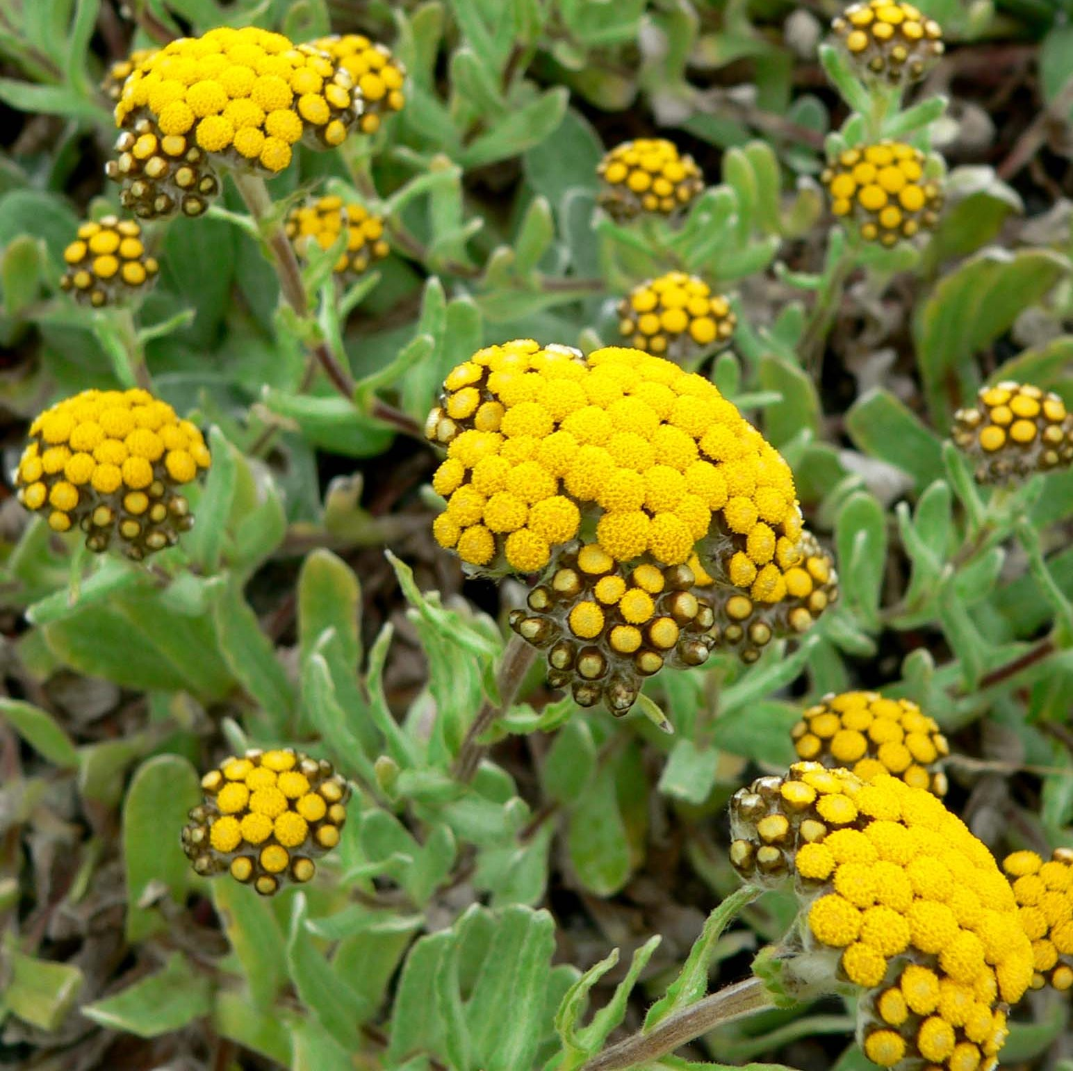 Helichrysum Floral Absolute Oil  4