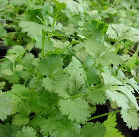 Coriander Essential Oil Egypt 3