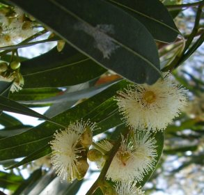 Eucalyptus Lemon Essential Oil India 2