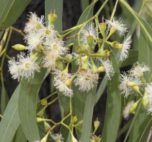 Eucalyptus Lemon Essential Oil India 4