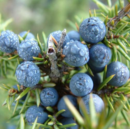 Juniper Berry Oil 2