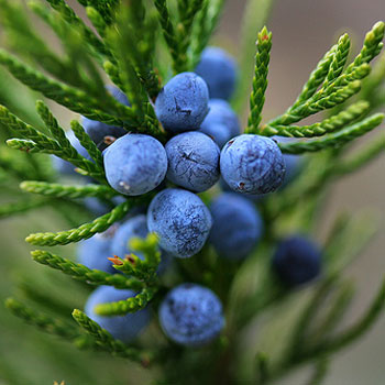 Juniper Berry Oil 3