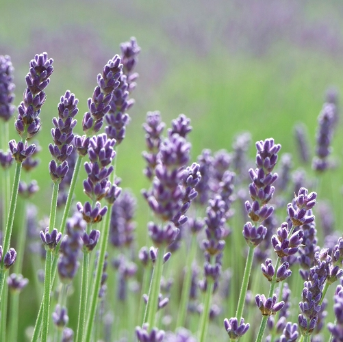 Lavender (true) French oil - Certified Organic  3