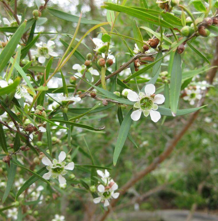 Tea Tree Essential Oil AAA Australian 2