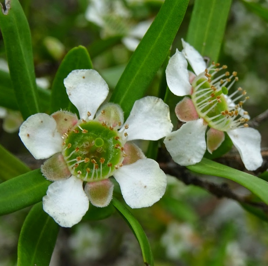 Tea Tree Essential Oil AAA Australian 5