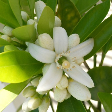Neroli Egypt Essential Oil 4