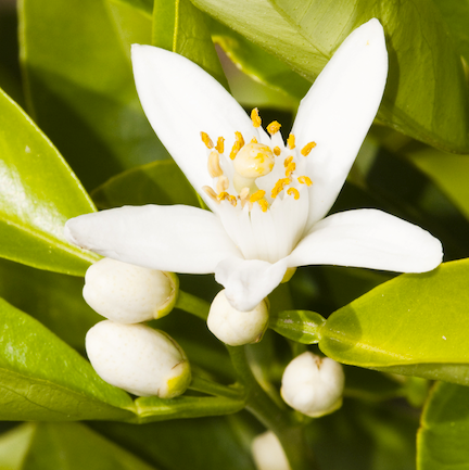Neroli Natural Blend Essential Oil 2
