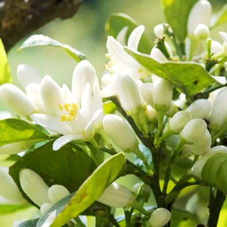Neroli Natural Blend Essential Oil 4
