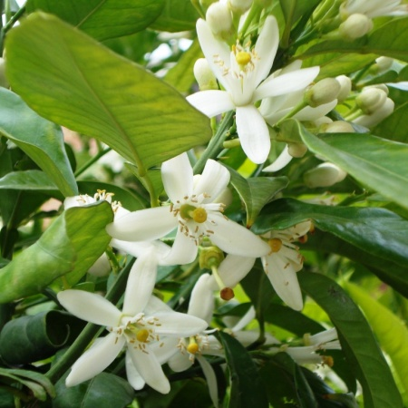 Neroli Natural Blend Essential Oil 5