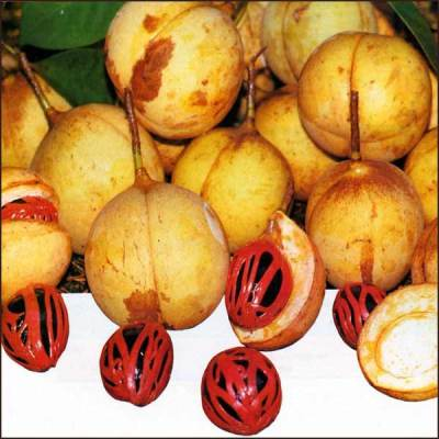 Nutmeg oil - Certified Organi 4