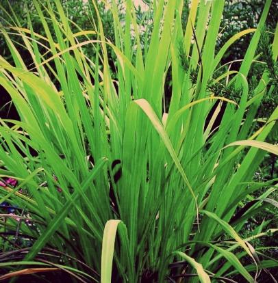 Palmarosa oil - Certified Organic  4