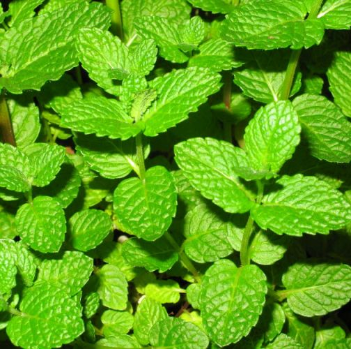 Peppermint Therapeutic Grade Essential Oils 4