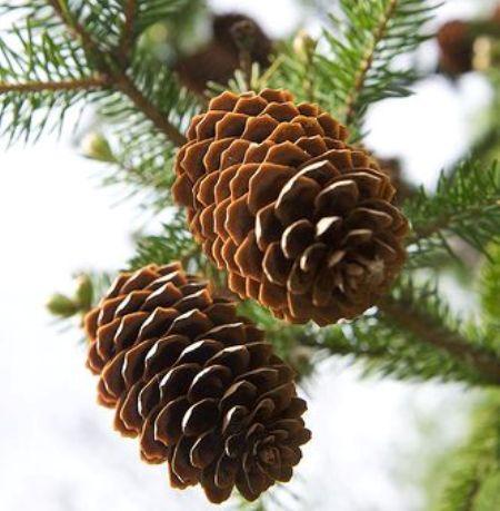 Pine Resinosa Essential Oil  2
