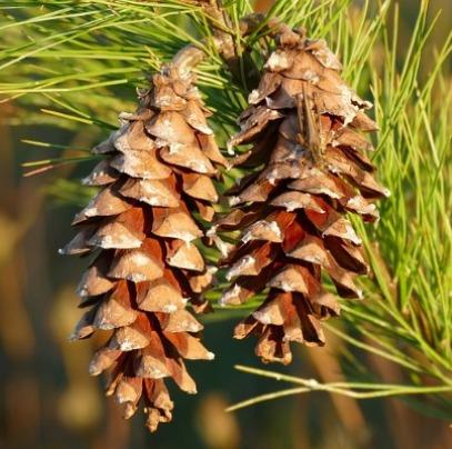 Pine (White) Needle Oil  3