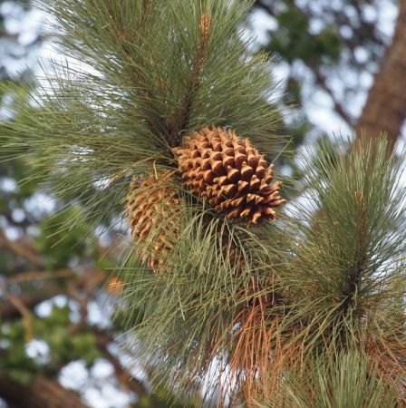 Pine Resinosa Essential Oil  5