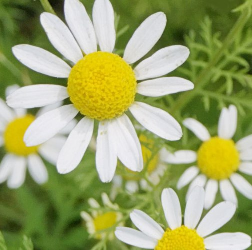 Chamomile Roman Essential Oil 3