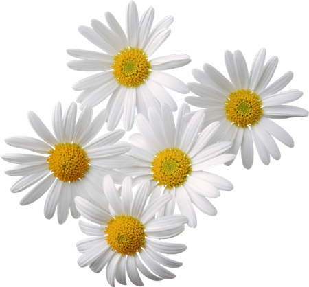 Chamomile Roman Essential Oil 2