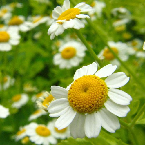 Chamomile Roman Essential Oil 4