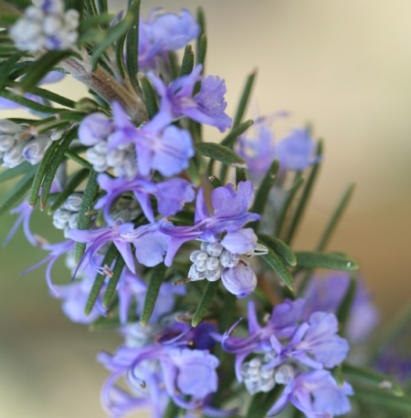 Rosemary Organic Essential Oil 4