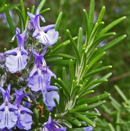 Rosemary Natural Essential Oils Spanish 5