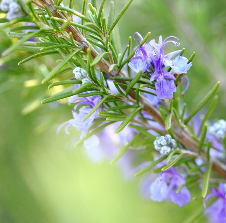 Rosemary Natural Essential Oils Spanish 4