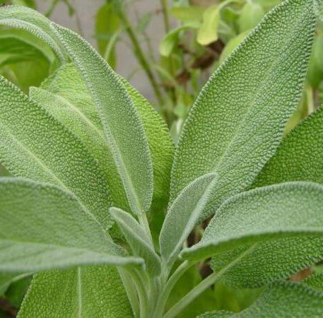 Sage Organic Essential Oil 2