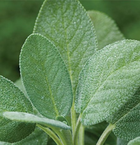 Sage Organic Essential Oil 4