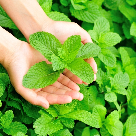 Spearmint India Essential Oil 4