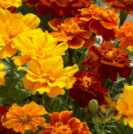 Tagetes Essential Oil Egyptian 4
