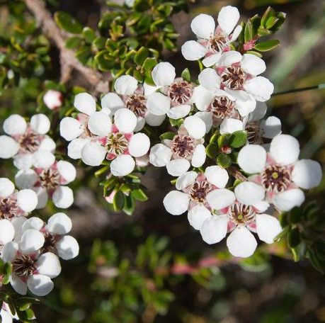 Tea Tree Lemon Essential Oil 4