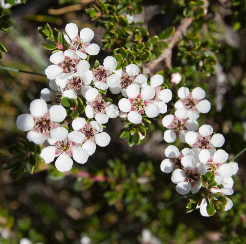 Tea Tree Lemon Essential Oil 5